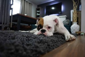 Trazodone in Dogs