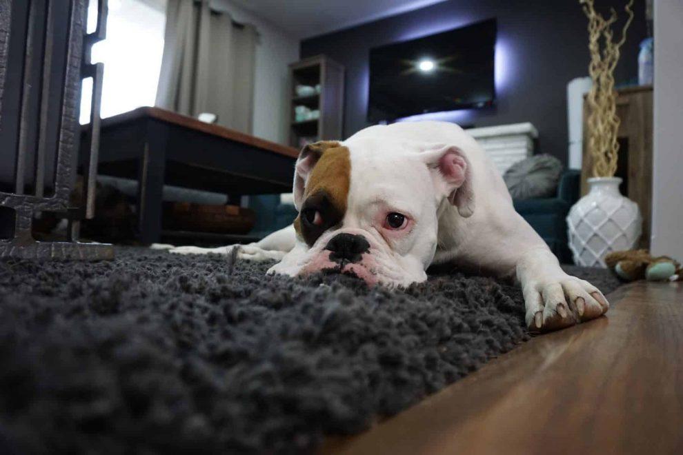 Trazodone in Dogs